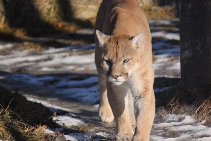 Cougars are an Endangered Species in Michigan