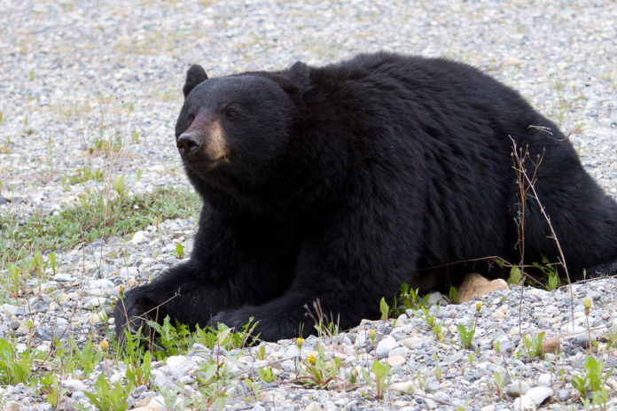 black bear attacks elderly woman