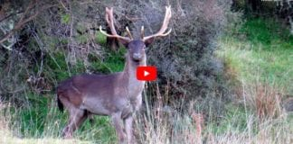 Hunting Video - Fallow Deer Hunting South Canterbury