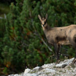 Chamois in Mountains