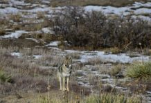 How To Hunt Coyotes – 3 Top Hunting Tips