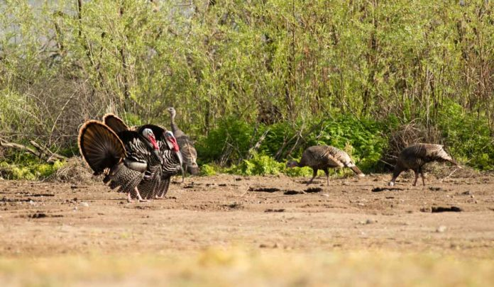 How to Hunt Turkey - Quick Hunting Tips to Help You Prepare for the Turkey Hunting Season